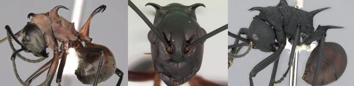 Polyrhachis2